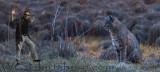 Will meets Bobcat in Meadow
