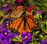 Monarch Encounter