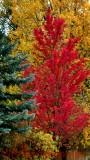 Autumn in Aspen Colorado