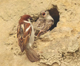 Accoppiamento di Passeri - House Sparrow mating