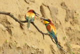 Gruccioni : il dono - Bee Eaters : the gift