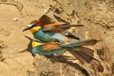 Gruccioni in accoppiamento - Bee Eaters mating