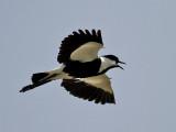 Sporrvipa  Spur-winged Plover Vanellus spinosus