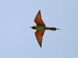 Grön biätare  Blue-cheeked Bee-eater (Green dream) Merops persicus