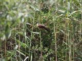 Senegalsporrgök  Senegal Coucal  Centropus senegalensis