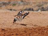 Senegaltjockfot   Senegal Thick-knee  Burhinus senegalensis