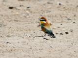 Biätare Merops apiasterEuropean Bee-eater