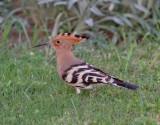 Härfågel Upupa epopsEurasian Hoopoe