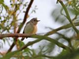 Eksångare  Eastern Olivaceous Warbler Hippolais pallida