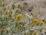 Desert Bath White   Pontia glauconome