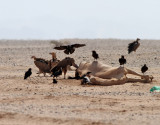 Örongam   Lappet-faced Vulture  Torgos tracheliotus