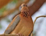 Palmduva  Laughing Dove Streptopelia senegalensis