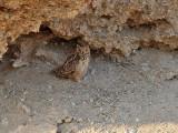 Ökenberguv  Pharao's Eagle Owl  Bubo ascalaphus