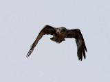 Ökenkorp  Brown-necked Raven Corvus ruficollis