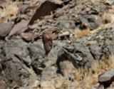 Ormvråk  Common Buzzard  Buteo buteo vulpinus