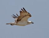 Fiskgjuse  Osprey Pandion haliaetus