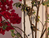 Spansk sparv  Spanish Sparrow Passer hispaniolensis