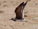 Sotmås  Sooty Gull  Ichthyaetus hemprichii