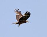 Brun glada  Yellow-billed Kite  Milvus migrans aegyptius