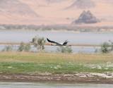 Afrikansk ibisstork  Yellow-billed Stork  Mycteria ibis