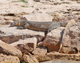 Nilvaran  Nile Monitor  Varanus niloticus