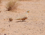 Ökenflyghöna  Spotted Sandgrouse  Pterocles senegallus