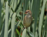 Papyrussångare  Clamorous Reed Warbler  Acrocephalus stentoreus