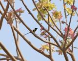 Nilsolfågel   Nile Valley Sunbird  Hedydipna metallica