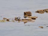Trebandad pipare  Three-banded Plover  Charadrius tricollaris