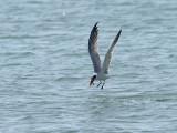 Skräntärna  Caspian Tern Hydroprogne caspia