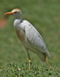Kohäger Cattle EgretBubulcus ibis