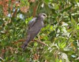 Balkanhök  Levant Sparrowhawk  Accipiter brevipes