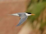 Iltärna  Lesser Crested Tern Sterna bengalensis