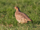 Rapphöna  Grey Partridge  Perdix perdix