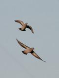 Skogsduva  Stock Dove (Stock Pigeon)  Columba oenas