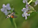 Större dagsvärmare - Hummingbird Hawk-moth (Macroglossum stellatarum)