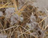 Skäggmes  Panurus biarmicus  Bearded Reedling