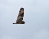 Jorduggla Asio flammeus Short-eared Owl
