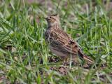 Sånglärka  Eurasian Skylark  Alauda arvensis