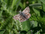 Smultronvisslare - Grizzled Skipper (Pyrgus malvae)