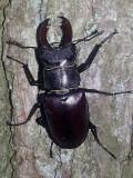 Ekoxe  Lucanus cervus