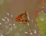 Älggräspärlemorfjäril - Lesser Marbled Fritillary - Brenthis ino