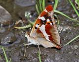 Sälgskimmerfjäril -  Purple Emperor - Apatura Iris