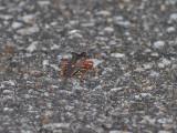 Rödbent bärfis  forest bug  Pentatoma rufipes