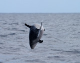 Birdtrip to Azores, Pelagic,  Aug 2014