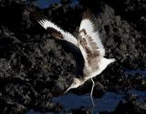 Birdtrip to Azores Oct 2014