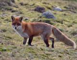 Rödräv  Vulpes vulpes  Red Fox