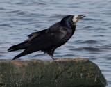 Råka  Rook Corvus frugilegus