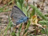 Puktörneblåvinge - Common blue - Polyommatus icarus