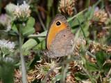 Turkisk slåttergräsfjäril  Turkish Meadow Brown  Maniola telmessia